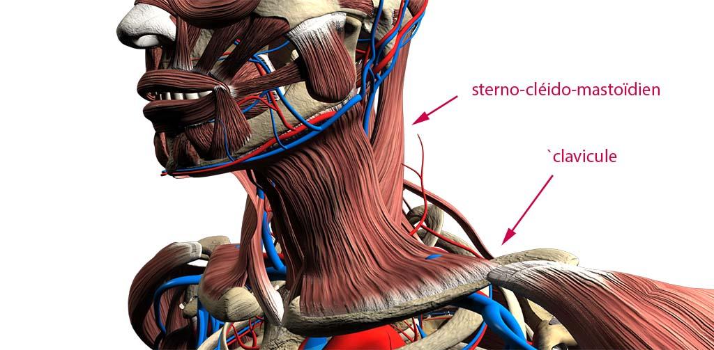 L'intersection entre le muscle sterno-cléido-mastoïdien et la clavicule, par exemple, est typiquement un endroit très douloureux au toucher le matin, susceptible de générer tensions et douleurs dans le cou et le crâne. Pourtant, on ne prend conscience de ce point de départ de la douleur que si on va le