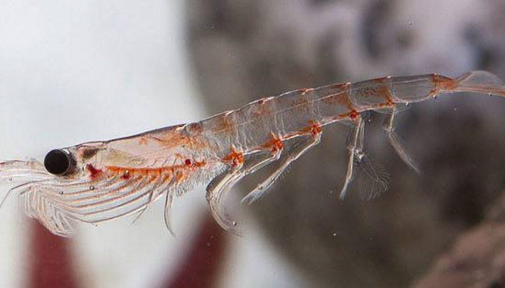 huile de krill usage effets secondaires et contre indications mal au. Black Bedroom Furniture Sets. Home Design Ideas
