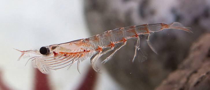 Huile de Krill: usage, effets secondaires et contre-indications
