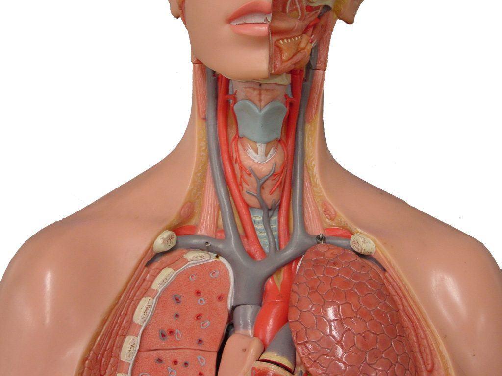 artères carotides