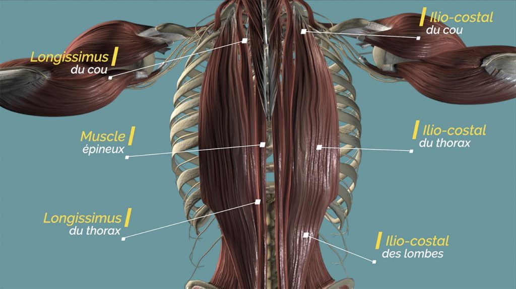 muscles érecteurs du rachis